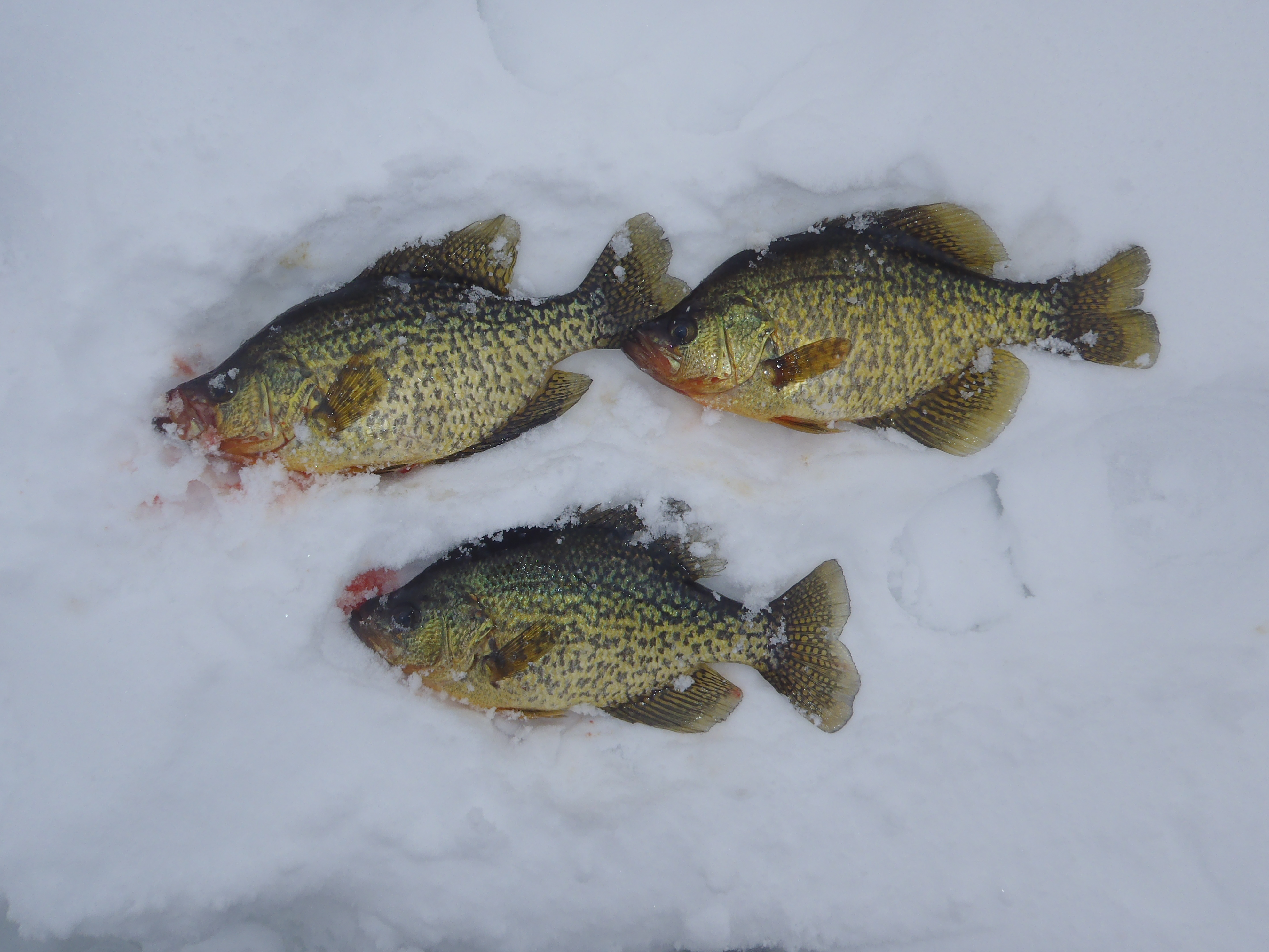 Ice fishing is crappie ice fishing ontario fishing for Crappie ice fishing