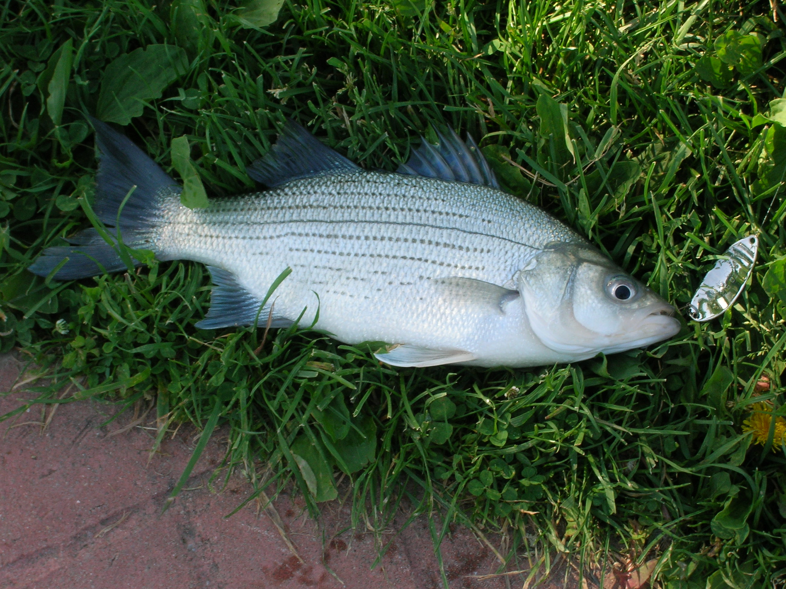 white bass or as i call them silver bass detroit river