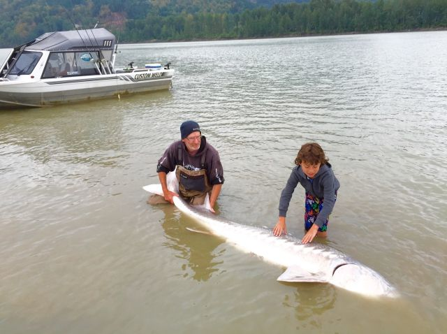 giant fraser white sturgeon 2015