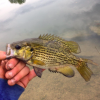 huge rock bass