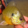 best pumpkinseed close up.